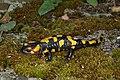 Salamandra salamandra 05 by-dpc.jpg