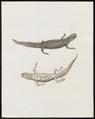 Salamandra spec. - 1700-1880 - Print - Iconographia Zoologica - Special Collections University of Amsterdam - UBA01 IZ11400137.tif