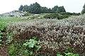 Salix lapponum kz05.jpg