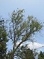 Salix matsudana - kovrdžava vrba 2.jpg