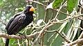 Saltator fuliginosus -Pomerode Zoo, Santa Catarina, Brazil -adult male-8b.jpg