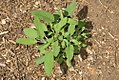 Salvia Newe Yaar 0zz.jpg