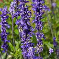 Salvia farinacea-IMG 9335.jpg