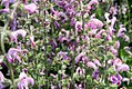 Salvia nemorosa Eveline 3zz.jpg