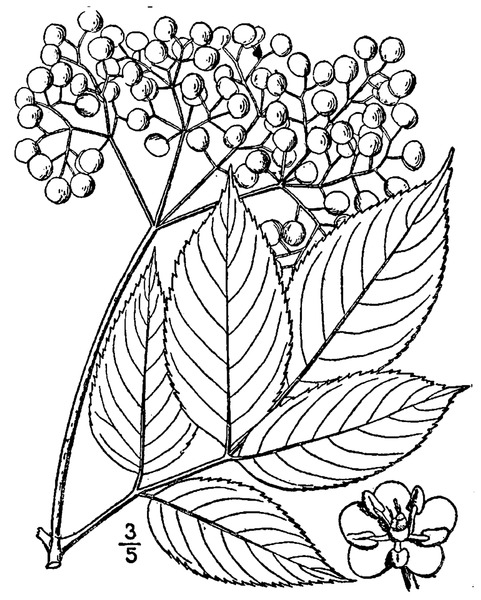 File:Sambucus nigra L. ssp. canadensis (L.) R. Bolli American black elderberry.tiff
