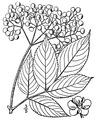 Sambucus nigra L. ssp. canadensis (L.) R. Bolli American black elderberry.tiff