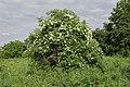 Sambucus nigra TK 2021-06-09 1.jpg