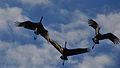 Sandhill Crane Migration (8156306029).jpg