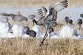 Sandhill Cranes ritual dance.jpg