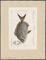 Sargus rondeletii - 1700-1880 - Print - Iconographia Zoologica - Special Collections University of Amsterdam - UBA01 IZ13100027.tif