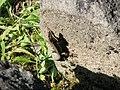 Sarmizegetusa Regia 2011 - Lizard on Dacian Stone.jpg