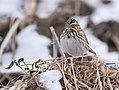 Savannah Sparrow (31446425854).jpg