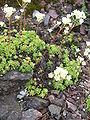 Saxifraga paniculata (Habitus).jpg