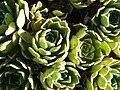 Saxifraga paniculata (Saxifragaceae) detail.JPG