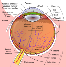 Schematic diagram of the human eye en.svg