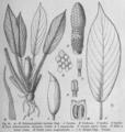 Schismatoglottis barbata from Das Pflanzenreich.png