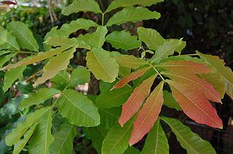 Schleichera - Schleichera oleosa young leaves. Jakarta