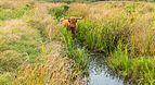 Schotse Hooglander zoekt verkoeling in het water. Locatie, natuurgebied Delleboersterheide – Catspoele 01.jpg
