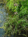 Schwanenblume 1.jpg