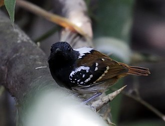 Peripatric speciation - Image: Sciaphylax hemimelaena Southern chestnut tailed antbird (male)