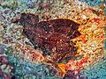 Scorpaenidae - Taenianotus triacanthus-001.jpg