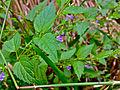 Scutellaria lateriflora - Blue Skullcap.jpg