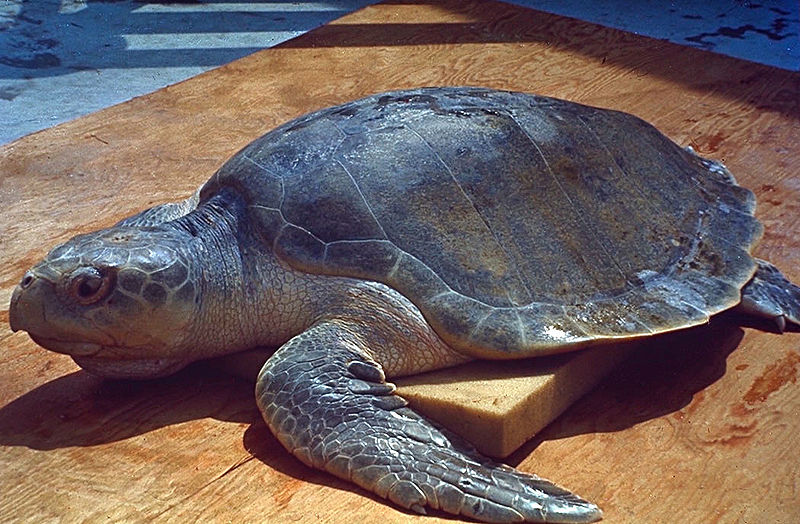 Ridley's Turtle