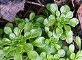 Sedum cepaea plant (05).jpg