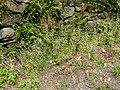 Sedum cepaea plant (29).jpg