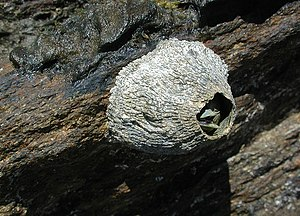Thecostraca - A barnacle of the family Balanidae, Mission Beach, Queensland, Australia, 2001.