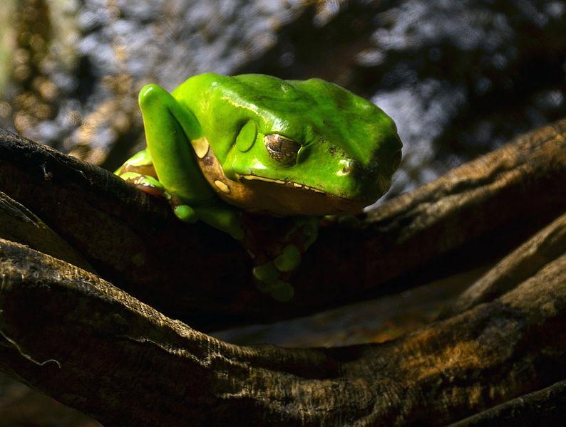File:Serpentarium Blankenberge Phyllomedusa bicolor 30042015 1.jpg
