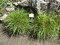 Sesleria caerulea - Botanical Garden, University of Frankfurt - DSC02649.JPG