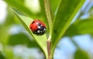 English: Seven-spotted ladybug Deutsch: Sieben...