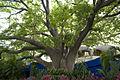Shady tree (2423847163).jpg