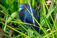 Shark Valley..bird Paradise W of Miami...Little Blue Heron (Egretta caerulea)... (26361973803).jpg