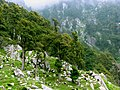 Sheeps and the sheperd, on the slopes above McLeod Ganj, Himachal Pradesh.jpg