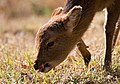 Sika deer (5920533208).jpg