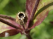 Silene sp. by Danny S. - 002.JPG