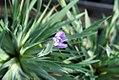 Sisyrinchium angustifolium Lucerne 0zz.jpg