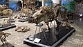 Skeletons from Giza Zoological Museum 01.jpg