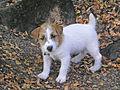 Skipper the rough-coat Jack Russell Terrier.jpg