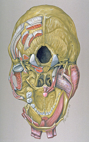 Base of skull - Base of the skull, inferior or outer surface. Showing various muscle attachments.