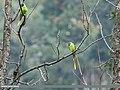 Slaty-headed Parakeet (Psittacula himalayana) (39644709893).jpg