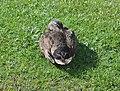 Sleeping Duck (15189789637).jpg
