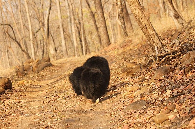File:Sloth bear (9).jpg