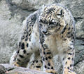 Snow Leopard 1.jpg