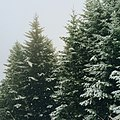 Snow covered spruce trees (Unsplash).jpg