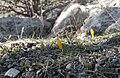 Snow crocus - Crocus chrysanthus 1.jpg
