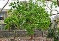 Soap nut tree (Sapindus emarginatus) with fresh foliage.jpg