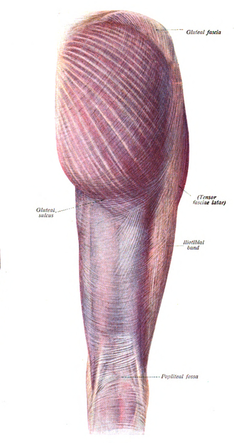 Gluteus maximus muscle - Gluteus maximus is the most superficial muscle of the hips, here visible at top centre with skin removed from the entire leg